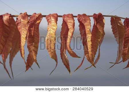 Dry Leaves Hanging On A Rope. Close Up