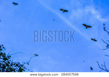 An American Black Vultures Flying Around In Miami, Florida