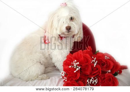 Valentines Day Dog. A beautiful white dog on a white background. Valentines Day Heart and red roses. Room for text.
