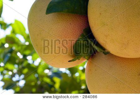 Ruby Red Florida Grapefruit
