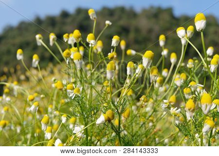 Matricaria Chamomilla (camomile, Wild Chamomile Or Scented Mayweed) In Bloom,aromatic Clusters Of Fl
