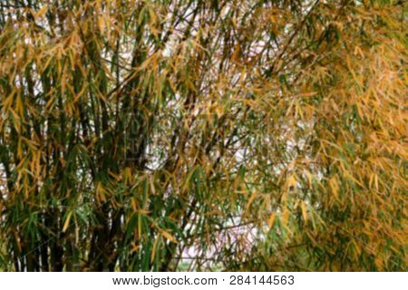 Blur Of Yellow Clump Of Old Wide  Bamboo On Summer In The Forest