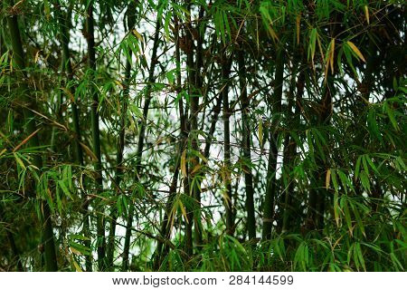 Green Clump Of Wide  Bamboo On Summer In The Forest