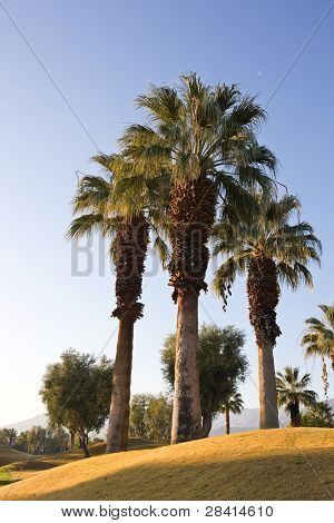 Three Palm Trees On Golf Course