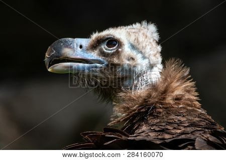 Close-up portrait of Cinereous vulture with blurred dark background. Eurasian black vulture or monk vulture (Aegypius monachus), huge scavenger bird with dark brown plumage and massive blue-gray beak. poster