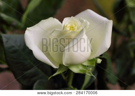 Close-up Of White Rose Flower In The Summer Garden. Macro Photography Of Nature.