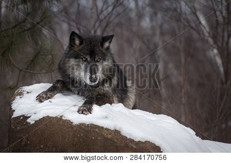Black Phase Grey Wolf (canis Lupus) Lies Atop Rock Winter - Captive Animal