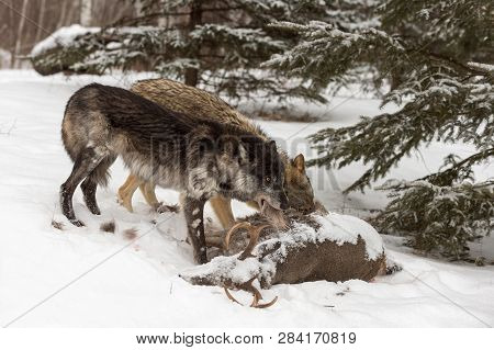 Black Phase Grey Wolf (canis Lupus) Pulls Piece Of Hide Off Deer Carcass Winter - Captive Animals