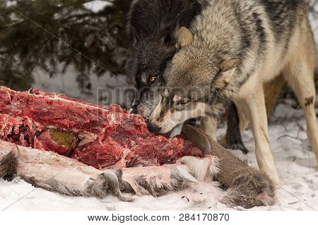 Black Phase And Grey Wolf (canis Lupus) Feed Side By Side At Deer Carcass Winter - Captive Animals