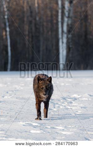 Black Phase Grey Wolf (canis Lupus) Walks Forward Through Snowy Field Winter - Captive Animal