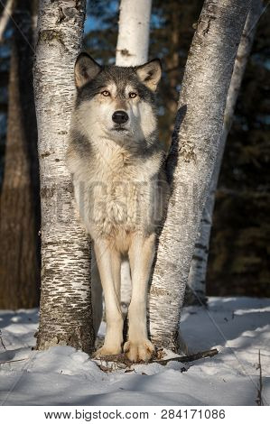 Grey Wolf (canis Lupus) Stands Tall Between Trees Winter - Captive Animal