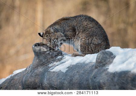 Bobcat (lynx Rufus) Rubs Cheek On Log Winter - Captive Animal