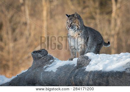 Bobcat (lynx Rufus) Looks Up Startled Winter - Captive Animal