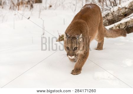 Adult Female Cougar (puma Concolor) Stalks Foward Winter - Captive Animal