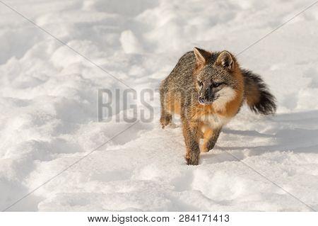 Grey Fox (urocyon Cinereoargenteus) Looks Up From Snow Winter - Captive Animal