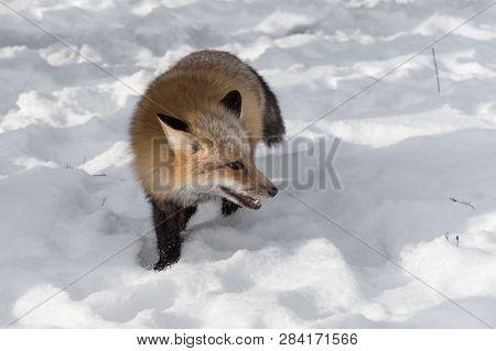 Amber Phase Red Fox (vulpes Vulpes) Steps Foward Looking Right Winter - Captive Animal