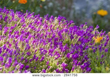Purple Wildflower Field