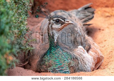 Close-up portrait of female peafowl dust-bathing. Indian peahen (Pavo cristatus) with beautiful crest and glossy plumage lying on orange sand.