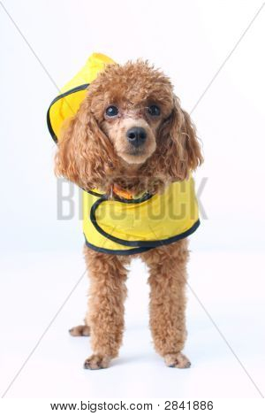 adorable animal breed bitch bell brown canine casual collar cut cute dog doggy domestic ear eye friend furry fuzzy grooming groomed isolated lap mammal miniature obedient paw pedigree pedigreed pet pom-pom poodle portrait proud purebred raincoat shirt sin poster