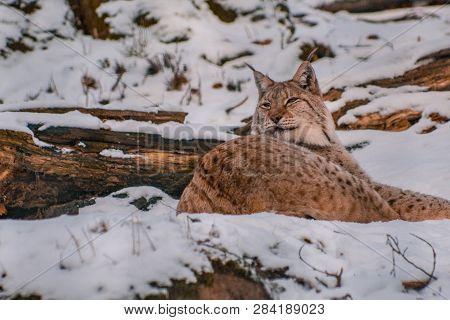 lynx in snowy winter landscape, lynx enclosure near Rabenklippe, Bad Harzburg, Germany poster