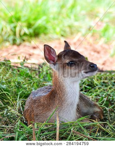 Little Young Fawn Deer Cute Animal Wildlife - Eld's Deer Lying On Grass Thamin , Brow-antlered