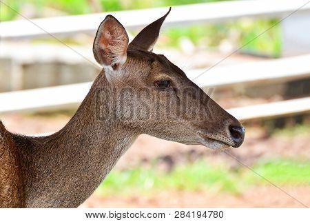 Female Deer Brow-antlered Wildlife In The Farm / Eld's Deer Thamin