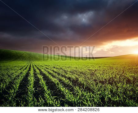 Rows of fresh green wheat in sunshine. Location place in Ukraine, Europe. Idyllic rural area. Scenic image of farmland in spring time. Concept of agrarian industry. Discover the beauty of earth.