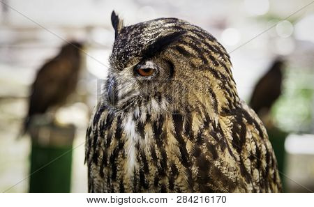 Wild Trained Owl, Detail Of Large Bird