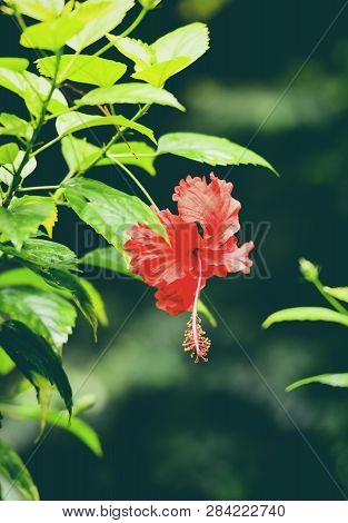 Hibiscus Flower Red Blooming In The Garden On Nature Green Background Tropical Flower Plant