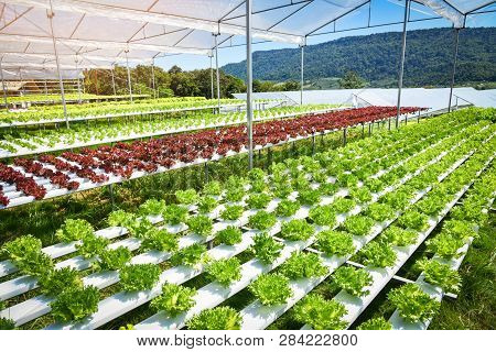 Vegetable Hydroponic System / Young And Fresh Frillice Iceberg Salad Growing Garden Hydroponic Farm