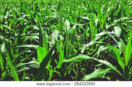 Corn Field Growing Up Plantation / Green Plant In The Field Farming Corn Crop Area Agriculture