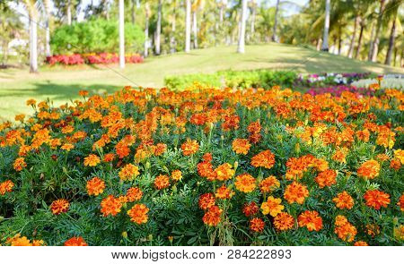 Fresh Spring Garden With Flower Yellow Marigold Blossoming In Summer Field Colorful