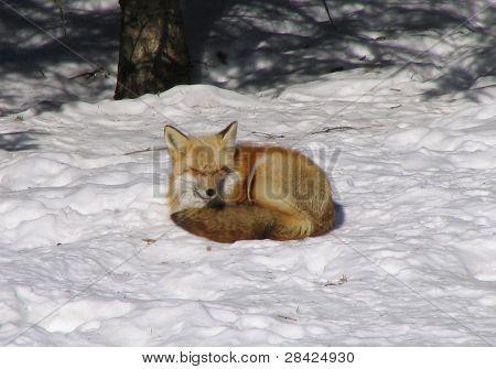 Sunbathing red fox