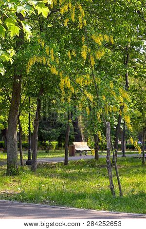 Yellow Acacia Flowers In Spring Time In Park