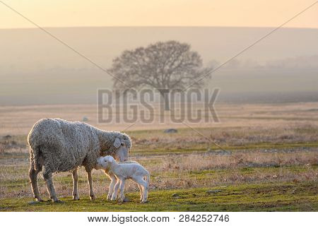 Sheep And Two Lambs On Sunset Field
