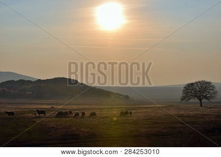 Sheep And Lambs On Sunset Spring Field