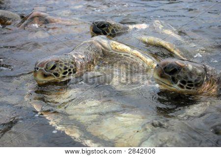 Sea Turtles In The Caribbean