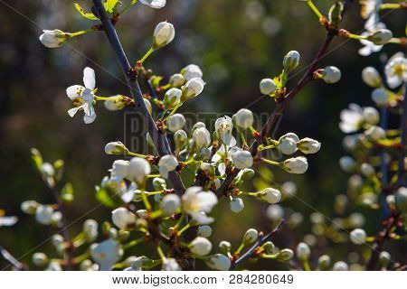 Spring Blossoms Tree. Natural Background. Japanese Spring Scenics Spring Flowers Spring Background