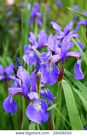 Close up of blooming Iris