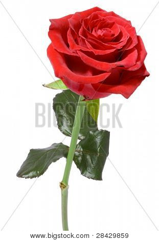 Single Red Rose