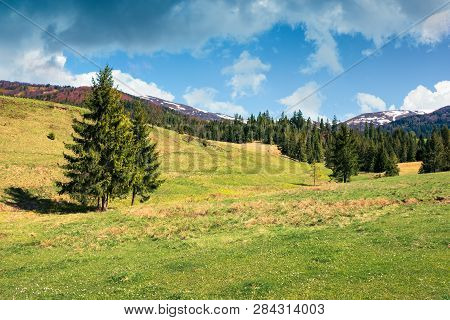 Early Springtime Countryside In Mountains. Pine Forest On A Grassy Meadow. Beautiful Carpathian Land