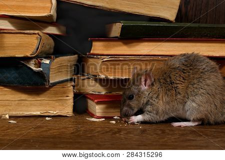 Close-up The Rat (rattus Norvegicus) Chewing Paper Near Pile Of Old Books In The Library. Concept Of
