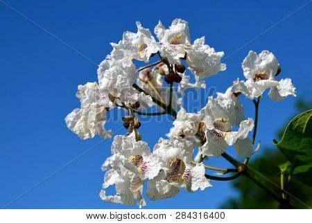 Southern Catalpa Tree Flowers On A Blue Sky Background.blooming Catalpa Bignonioides Commonly Called