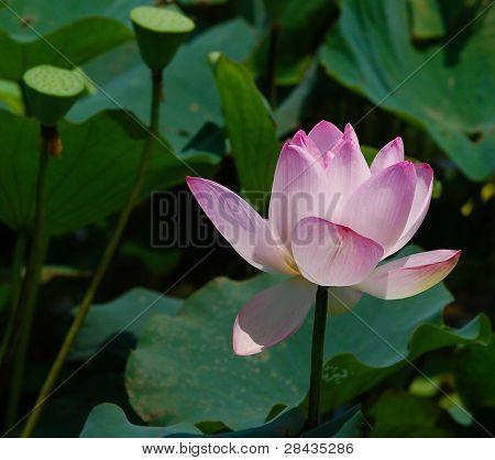 Sunlit lotus flower
