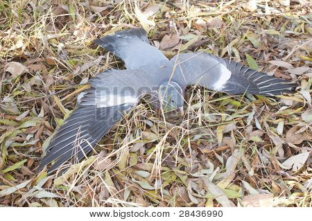 Poisoned Pigeon