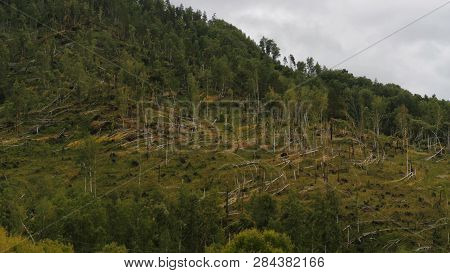 Fallen Trees In A Forest After Strong Hurricane Wind, Windfall. The Consequences Of Hurricane In For