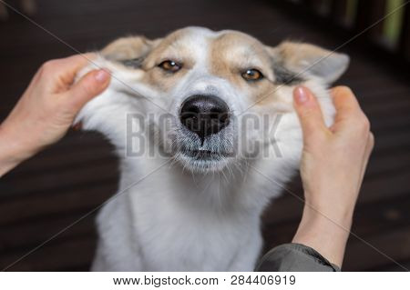 Human Hands Showing Cheeks Of Funny White Mixed Breed Dog