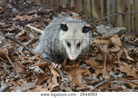 Possum Invasion
