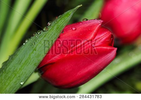 Close-up Of Red Tulip Flower In The Spring Garden. Macro Photography Of Nature.
