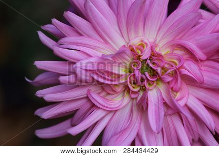 Portrait Of Pastel Pink-yellow Dahlia Flower. Macro Photography Of Nature.